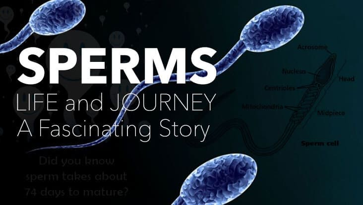 the journey of the sperm and Sperm is the male reproductive cell and is derived from the greek word  used for atp production for the journey through the female cervix,.